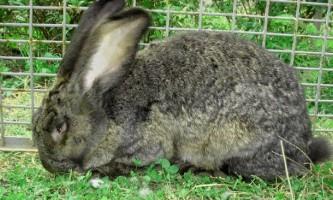 Кролики породи фландр