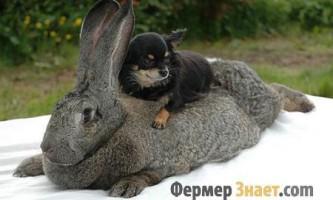 Кролики велетні - яку породу вибрати