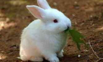 Кролики-велетні: опис популярних порід