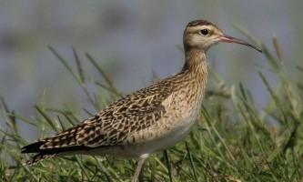 Кроншнеп-малютка: цікаві факти і опис птиці