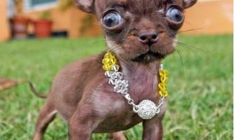 Крихітний чихуахуа мілі, можливо, найменша собака в світі