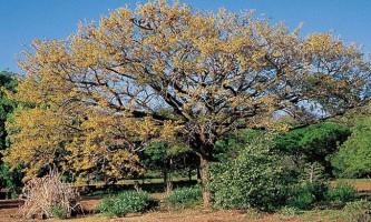 Криваве дерево (лат. Pterocarpus angolensis)
