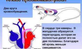 Кровоносна система плазунів