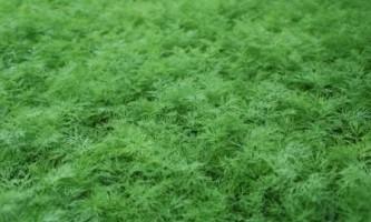 Цілорічне вирощування зелені