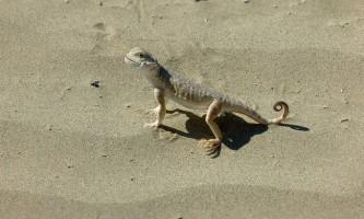 Круглоголовка-вертихвістка - ящірка з дивовижною назвою