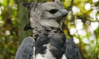 Найбільша хижий птах - гарпія велика