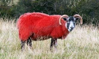 Найбільший в європі аукціон домашньої худоби