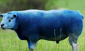 Різнобарвні вівці