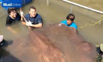 Найбільшу в світі прісноводну рибу впіймали в таїланді