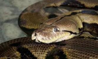 Найдовша в світі змія