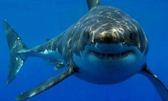 Хто був предком білої акули