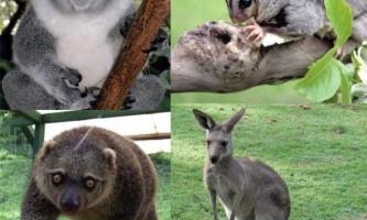 Хто такі сумчасті (marsupiala)?