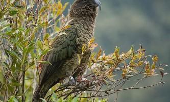 Хто розумніший - папуга або ворон?