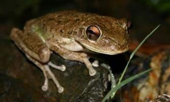 Кубинська квакша: життя і розмноження цих жаб