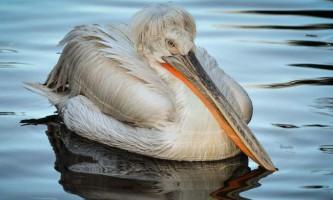 Кучерявий пелікан - птах з оригінальною зачіскою