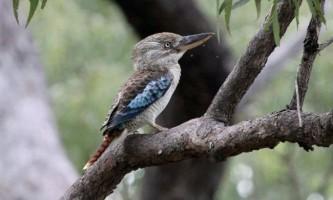 Кукабара - птах з чудернацькою назвою