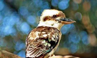 Кукабарра (kookaburra), або регочучий ганс