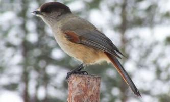 Кукша - найменша птах з усіх воронових