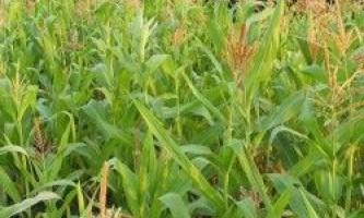 Кукурудза: як вирощувати успішно?