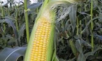 Кукурудза в сівозміні