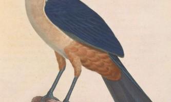 Зозуля делаланд - святкове птах, яку вже неможливо побачити