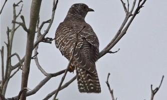 Зозуля звичайна: як бути «речей» птахом?