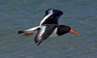 Кулик-сорока: фото, опис птиці