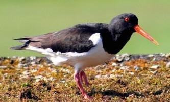 Кулик-сорока - символ фарерських островів