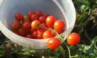 Культивування кращих сортів помідор в теплиці