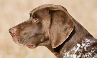 Курцхаар: все про породу мисливських собак