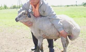 Курдючні вівці