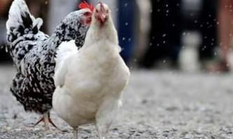 Кури продемонстрували можливість ультрашвидкий еволюції