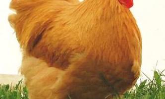 Кури породи орпінгтон