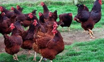 Кури породи род айленд, опис