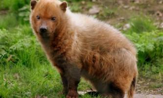 Чагарникова собака - рідкісний лісовий житель