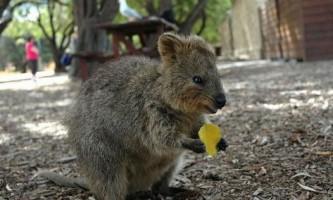 Квокки, або короткохвостий кенгуру (лат. Setonix brachyurus)