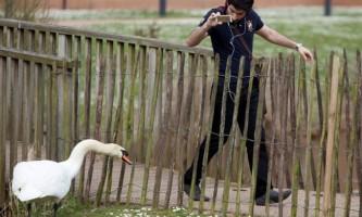 Лебідь-расист нападає на іноземних студентів