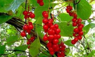 Лікувальні властивості китайського лимонника, користь і шкода червоних ягід