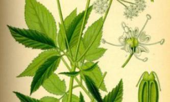 Лікувальні властивості яглиці, як приготувати і заготовити рослина