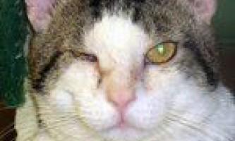 Лікування алергічного і інфекційного коньюктивита у кішки