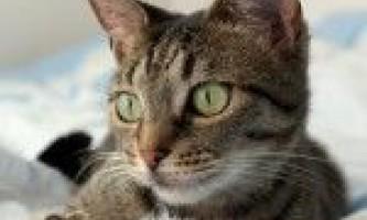 Лікування і профілактика корости у кішок