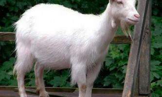 Лікування і профілактика маститу у кіз