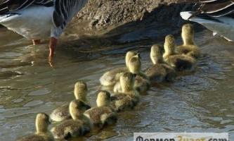Головне про зміст молодняку гусей в домашніх умовах