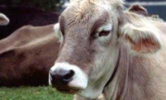 Лікування маститу у корів + діагностика