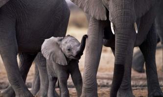 Лікувати рак допоможуть слони: вчені відкрили білок, що вбиває ракові клітини