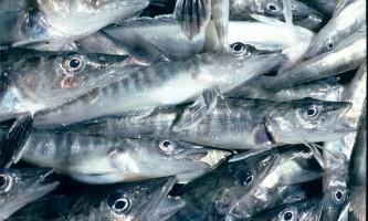 Крижана риба, вона ж - білокровні щука