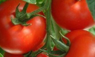 Легко і просто: томати на уралі