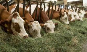 Лейкоз у корови: симптоми, причини, наслідки