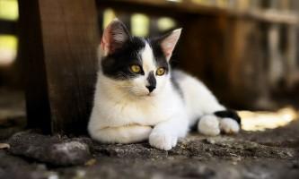 Лейкоз у кішок: симптоми і лікування