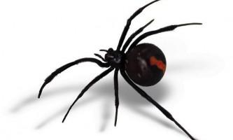 Ледачі самці павуків вижили через нерозбірливості самок